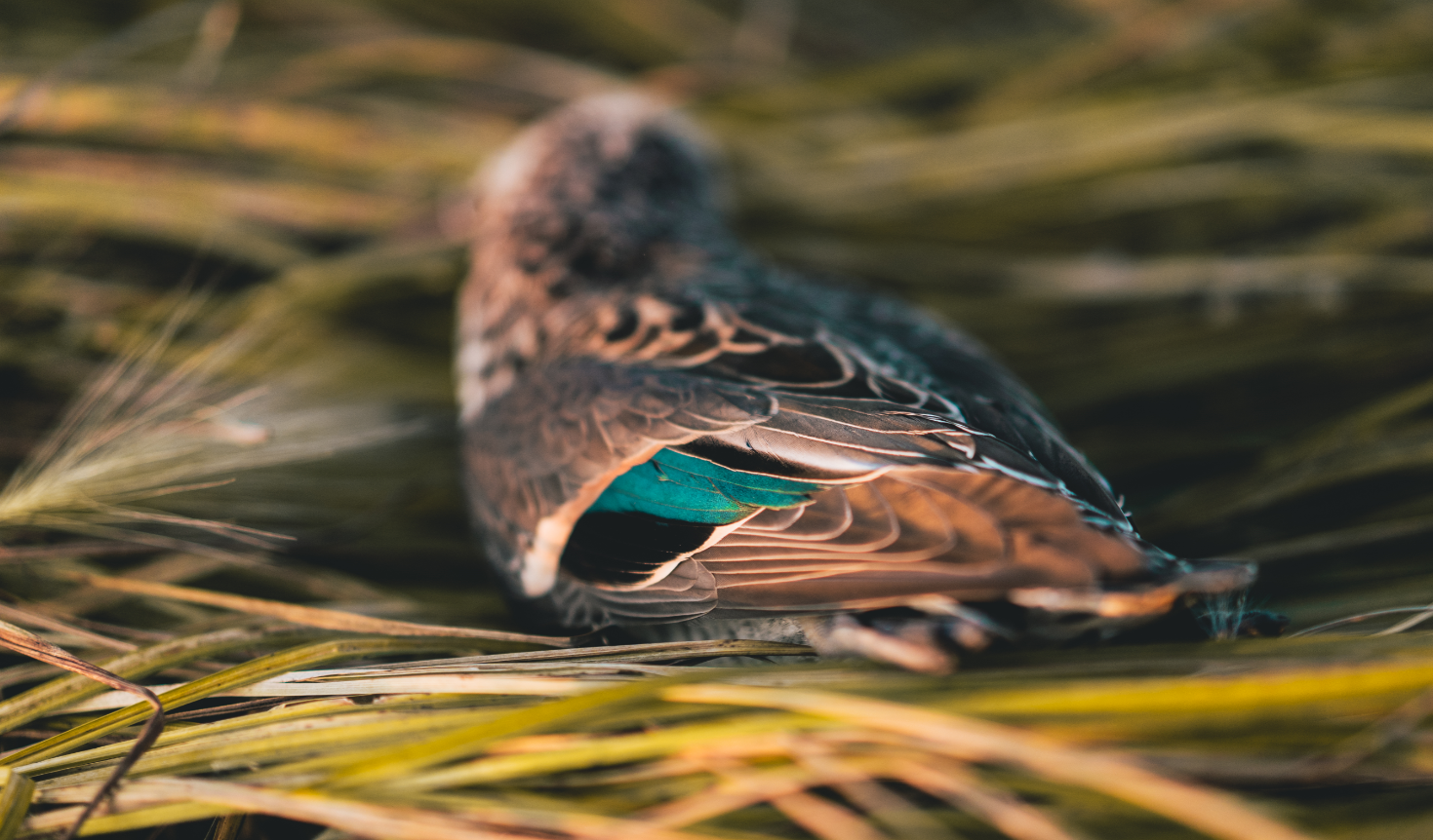 Duck hunting with Birdtail Waterfowl