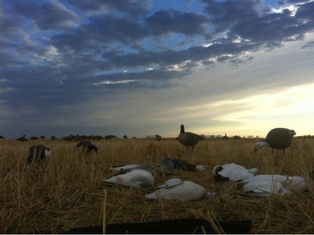 Snow goose morning to ya! 3