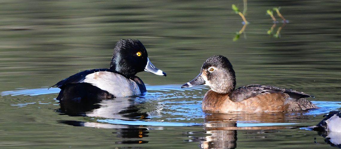 Ring-Necked Ducks