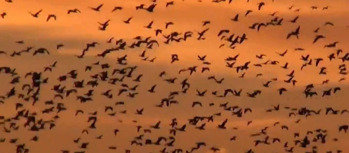 massive-amounts-of-ducks