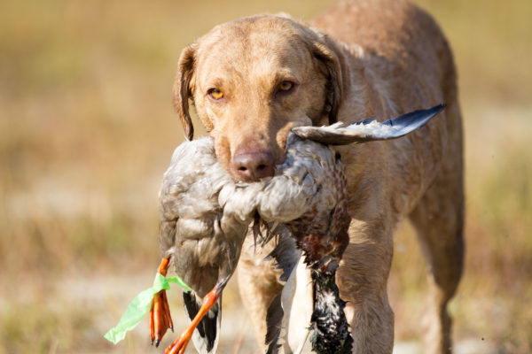 Waterfowl hunting dog